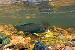 Arctic grayling  (Thymallus arcticus) male gaping which is a sign of aggression, North Park, Colorado, USA.  -  Charlie  Summers