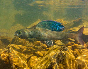 Arctic grayling (Thymallus arcticus) displaying his vibrant dorsal fin.  North Park, Colorado, USA.  -  Charlie  Summers
