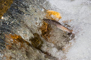 Arctic grayling (Thymallus arcticus) female attempting to swim up a small waterfall in a creek, North Park, Colorado, USA, June.  -  Charlie  Summers