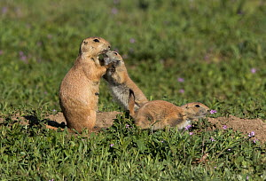 Black-tailed prairie dog (Cynomys ludovicianus) youngster showing affection to adult, Colorado, USA, May. - Charlie  Summers