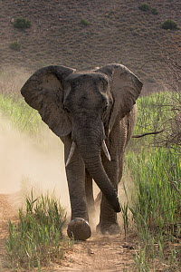 African elephant (Loxodonta africana) charging down a dirt road kicking up lots of dust, Sanbona Wildlife Reserve, South Africa.  -  Charlie  Summers