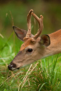 White-tailed deer (Odocoileus virginianus) buck with antlers in velvet, New York, USA. August. - John Cancalosi