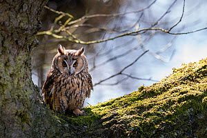 Long-eared owl (Asio otus) in a large tree, Cheshire, UK, March.  -  Graham Eaton