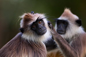 Tufted gray langurs grooming(Semnopithecus priam thersites). Polonnaruwa, Sri Lanka February. - Anup Shah