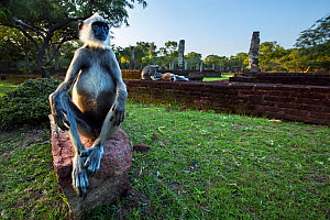 Tufted gray langur male sitting on ancient ruins  (Semnopithecus priam thersites). Polonnaruwa, Sri Lanka February. - Anup Shah