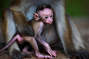 Toque macaque (Macaca sinica sinica) female baby a few days old with her mother. Polonnaruwa, Sri Lanka February.  -  Fiona Rogers