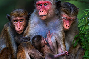 Toque macaque (Macaca sinica sinica) females sitting in a group with a baby. Polonnaruwa, Sri Lanka February.  -  Fiona Rogers