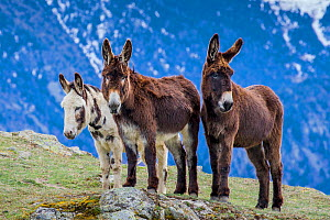 Two Pyrenean donkeys and Irish Piebald donkey on mountain at the beginning of winter, France.  -  Klein & Hubert