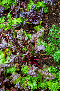 Beetroot (Beta vulgaris vulgaris) growing in a kitchen garden, Germany.  -  Klein & Hubert