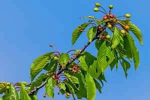 Wild cherry (Prunus avium) young fruits in spring, France  -  Klein & Hubert