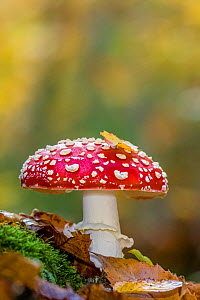 Fly agaric fungi (Amanita muscaria) in sweet chestnut forest in autumn, France.  -  Klein & Hubert