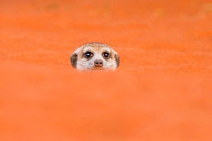 Meerkat (Suricata suricatta)  coming out of den in Kalahari Desert, South Africa  -  Klein & Hubert