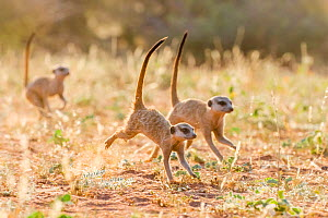Meerkats (Suricata suricatta) running to attack meerkat excluded from group, Kalahari Desert, South Africa.  -  Klein & Hubert
