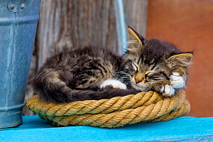 Tabby and white semi-longhaired kitten sleeping on coil of old rope in farmyard, France.  -  Klein & Hubert