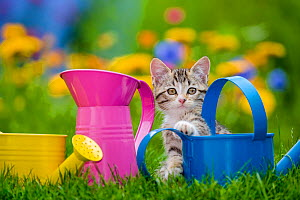 Tabby and white kitten sitting between watering cans in garden France. - Klein & Hubert