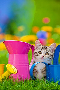 Tabby and white kitten sitting between watering cans in garden, France. - Klein & Hubert