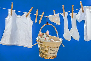 Tabby and white kitten in a clothespin basket hanging on washing line with clothes, France. - Klein & Hubert
