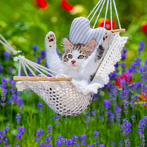 Tabby and white semi-longhaired kitten lying in hammock with lifted paws lifted, France. - Klein & Hubert