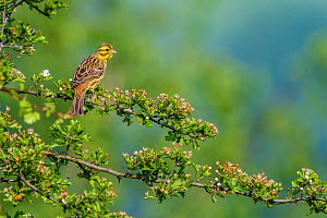 Yellowhammer (Emberiza citrinella) male in breeding plumage  sitting on a Hawthorn branch in spring, France - Klein & Hubert