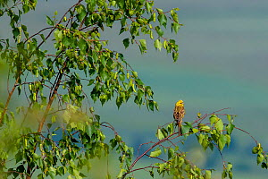Yellowhammer (Emberiza citrinella) male in breeding plumage  sitting on a birch tree branch in spring, France - Klein & Hubert