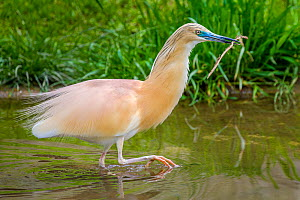 Squacco heron (Ardeola ralloides) collecting material for nest building, France  -  Klein & Hubert