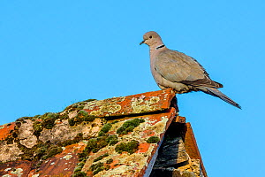 Eurasian collared dove (Streptopelia decaocto) on lichen covered roof, France  -  Klein & Hubert