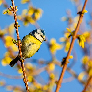Blue tit (Cyanistes caeruleus) on flowering Forsythia branch in spring, France  -  Klein & Hubert