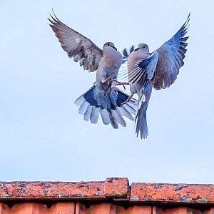 Eurasian collared dove (Streptopelia decaocto) pair in courtship display on roof, France  -  Klein & Hubert