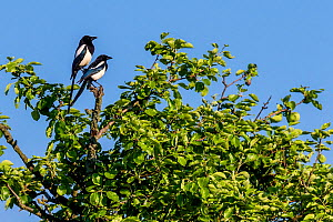 Two Eurasian magpies (Pica pica) on tree branch in spring, France  -  Klein & Hubert