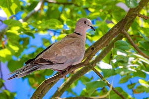 Eurasian collared dove (Streptopelia decaocto) resting on a tree branch, France - Klein & Hubert