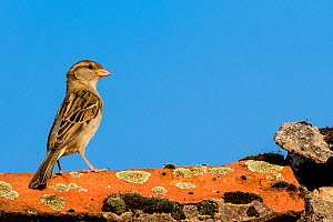 House sparrow (Passer domesticus) standing on lichen covered roof tile on old barn, France - Klein & Hubert