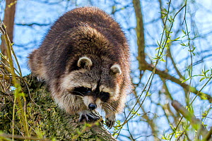 Raccoon (Procyon lotor) walking on a willow tree branch, France. Introduced species. - Klein & Hubert