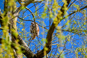 Raccoon (Procyon lotor) walking on a branch high up in a willow tree, France. Introduced species. - Klein & Hubert