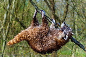 Raccoon (Procyon lotor) hanging from branch in willow tree, France. Introduced species. - Klein & Hubert