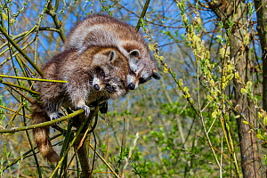 Two Raccoons (Procyon lotor) playing in a willow tree in spring, France. Introduced species. - Klein & Hubert