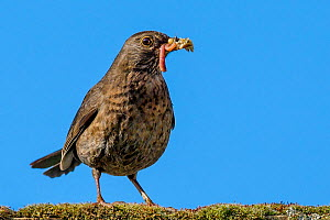 Common blackbird (Turdus merula) female on roof with insects and earthworms in beak to feed chicks, France. - Klein & Hubert