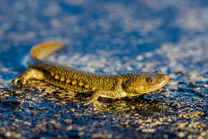 Sharp-ribbed newt (Pleurodeles waltl) emerging from water, Spain.  -  Klein & Hubert