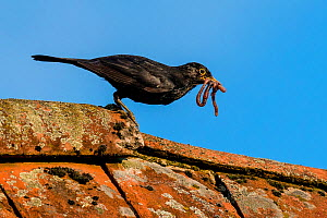 Common blackbird (Turdus merula) on roof - male with earthworms in beak to feed his young, France - Klein & Hubert