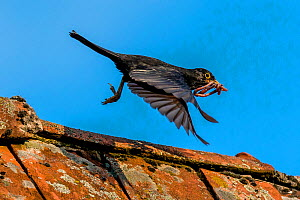 Common blackbird (Turdus merula) on roof, male with earthworms in beak to feed his young, France - Klein & Hubert
