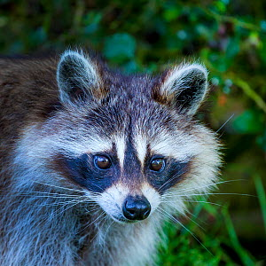 Portrait of a Raccoon (Procyon lotor), Germany. Introduced species. - Klein & Hubert