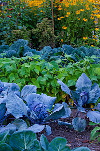 Organic kitchen garden containing cabbages, kale and beans, Germany - Klein & Hubert