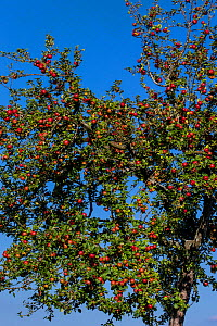 Apple tree (Malus domestica) with red apples, France  -  Klein & Hubert