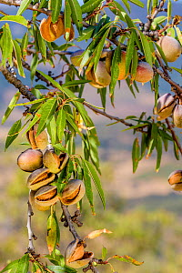 Sweet almond tree (Prunus dulcis) branch, with ripening fruits, Spain.  -  Klein & Hubert