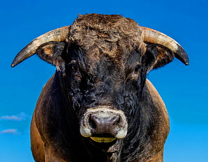 Aubrac bull portrait, France - Klein & Hubert