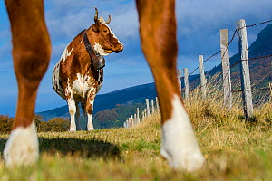 Ferrandaise cow, seen between the legs of another, Auvergne, France.  -  Klein & Hubert