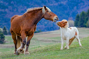 Comtois draft horse playing with Shetland pony in mountain, France - Klein & Hubert