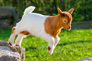Pygmy goat (Capra aegagrus hircus) kid playing, France.  -  Klein & Hubert