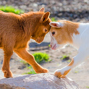Pygmy goat (Capra aegagrus hircus) two kids playing, France.  -  Klein & Hubert