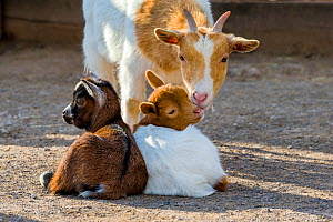Pygmy goat (Capra aegagrus hircus) two kids resting, with mother, France.  -  Klein & Hubert