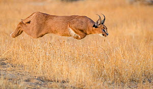 Caracal (Caracal caracal) jumping, South Africa. Captive. Sequence 1 of 4 - Klein & Hubert